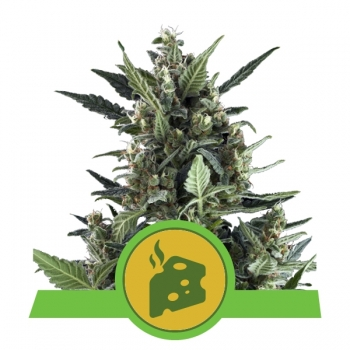 Nasiona marihuany Blue Cheese Auto od Royal Queen Seeds w mocnyplon.pl