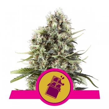 Nasiona marihuany Chocolate Haze od Royal Queen Seeds w mocnyplon.pl