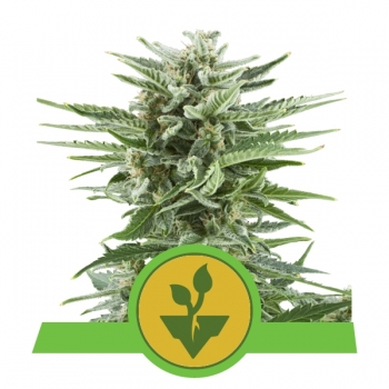 Nasiona marihuany Easy Bud Auto od Royal Queen Seeds w mocnyplon.pl