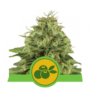 Nasiona marihuany Haze Berry Auto od Royal Queen Seeds w mocnyplon.pl