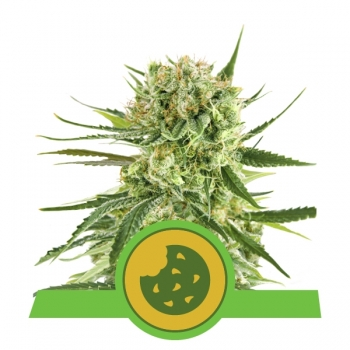Nasiona marihuany Royal Cookies Auto od Royal Queen Seeds w mocnyplon.pl