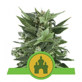 Nasiona marihuany Royal Kush Auto od Royal Queen Seeds w mocnyplon.pl