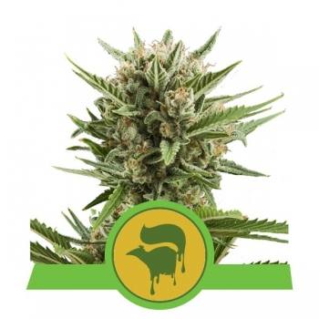 Nasiona marihuany Sweet Skunk Auto od Royal Queen Seeds w mocnyplon.pl