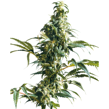 Mexican Sativa | Sensi Seeds
